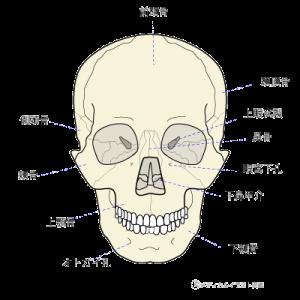 頭蓋骨 画像