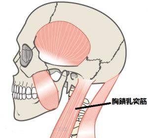 咬筋の画像 胸鎖乳突筋